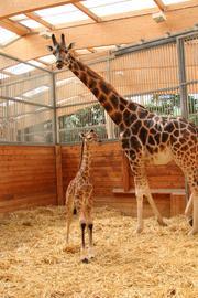 Giraffen-Baby Kiano