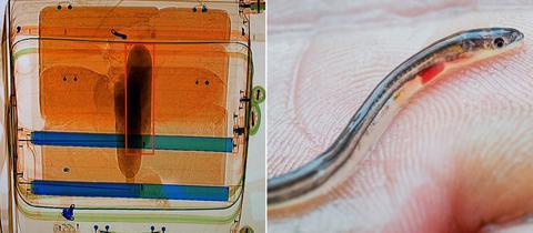 Röntgenaufnahme des beschlagnahmten Koffers mit den Glasaalen - daneben ein Glasaal-Exemplar auf einer Hand