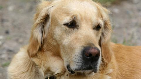 Golden Retriever Hund Sujet