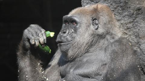 Gorilla Julchen isst im Frankfurter Zoo Zucchini