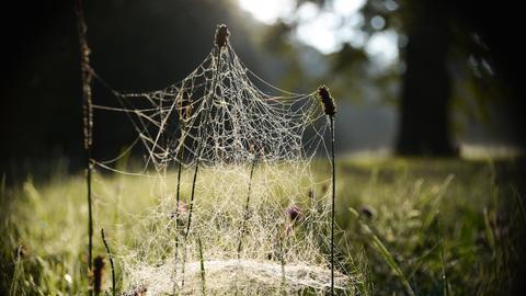 Grashalme sind mit Spinnennetzen bedeckt.