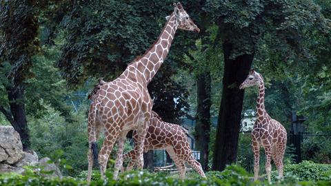 Giraffe Hatari (vorne) im Freigehege