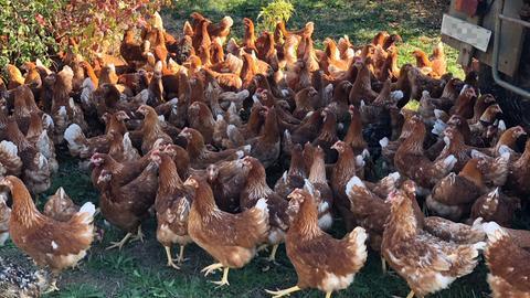 Rund 500 Hühner konnten gerettet werden.