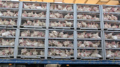 Hunderte Hühner verendeten in einem Transporter auf der A5