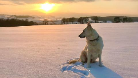 Schäfenhund im Schnee