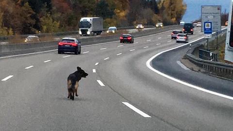 Hund auf A7