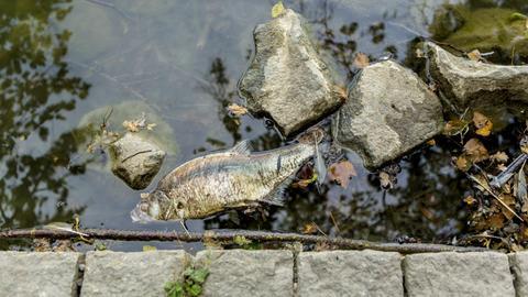 Ein toter Fisch