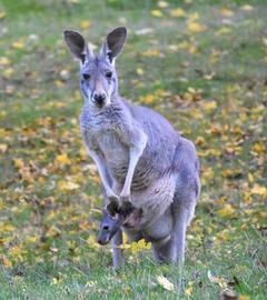 Känguru-Baby im Beutel der Mutter