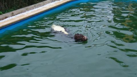 Das Kalb im Pool