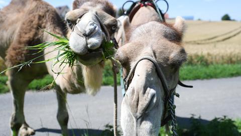 Kamele im Odenwald