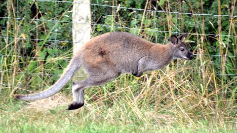 Känguru Skippy hüpft an einem Weidezaun entlang