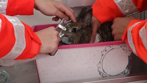Kaninchen, in den Händen von Rettungskräften, bekommen Sauerstoff über eine Maske