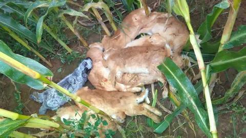 Getötete Kaninchen in Krobach