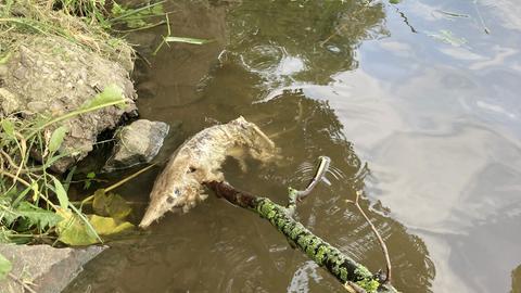 Toter Fisch am Fuldaufer in Kassel