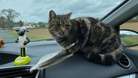 Kater Felix sitzt dem Armaturenbrett eines Autos
