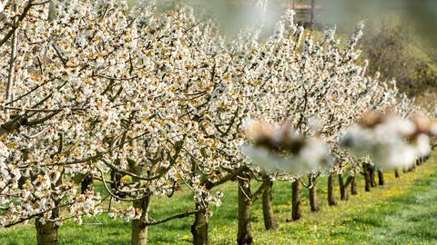 Kirschblüte in Witzenhausen