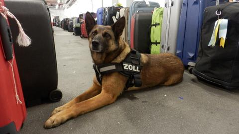 """Zollhund """"Black"""" fand das Kokain in den Koffern der beiden mutmaßlichen Schmuggler."""