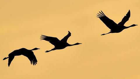 Kraniche - Zugvögel -