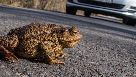 Kröte auf einer Straße