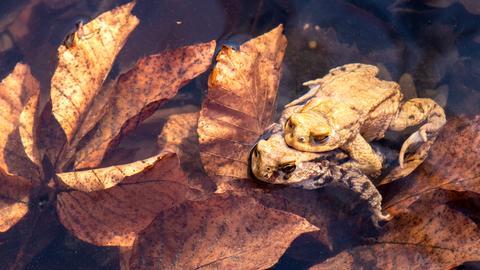 Zwei Kröten paaren sich in einem Tümpel.