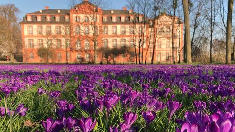 Teppich aus lila blühenden Krokussen vor dem Schloss Biebrich in Wiesbaden