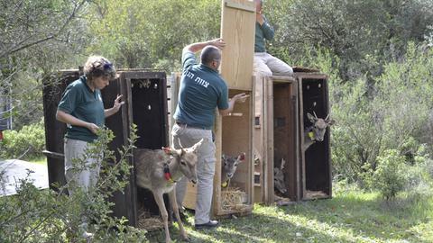 Mitarbeiter des Jerusalemer Zoos entlassen Mesopotamische Damhirsche aus Boxen in die Freiheit.