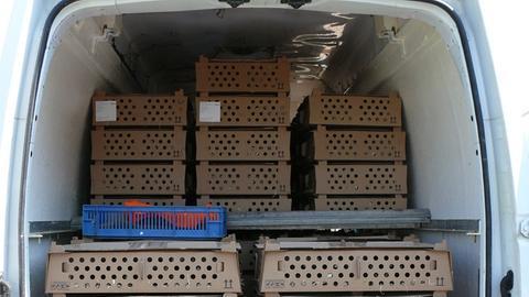 Der Kleintransporter hatte 13.000 lebende Küken geladen.