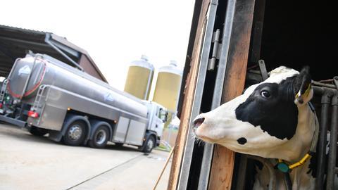 Eine Milchkuh in der Nähe eines Tankwagens