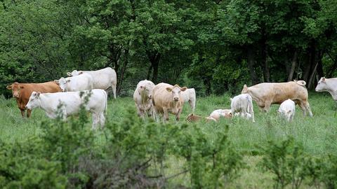 Das Kalb gehörte zu dieser Rinderherde.
