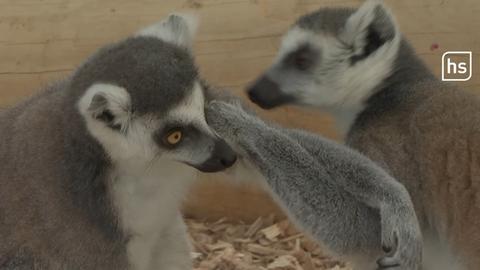 Zwei Lemuren putzen sich gegenseitig das Fell.