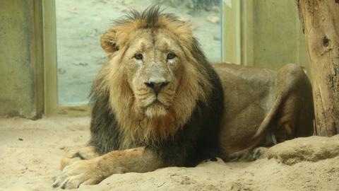 Der asiatische Löwe Kumar hält Einzug im Katzendschungel des Frankfurter Zoos.