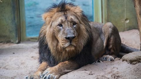 "Löwe ""Kumar"" im Zoo Frankfurt"