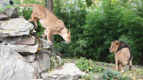 Die beiden Löwen im Zoo.