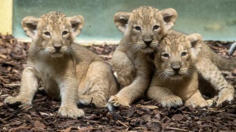 Drei Löwenjungen