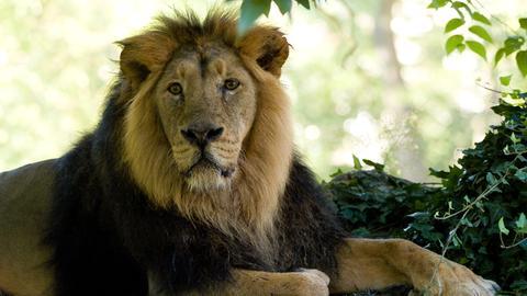 Löwe Kashi