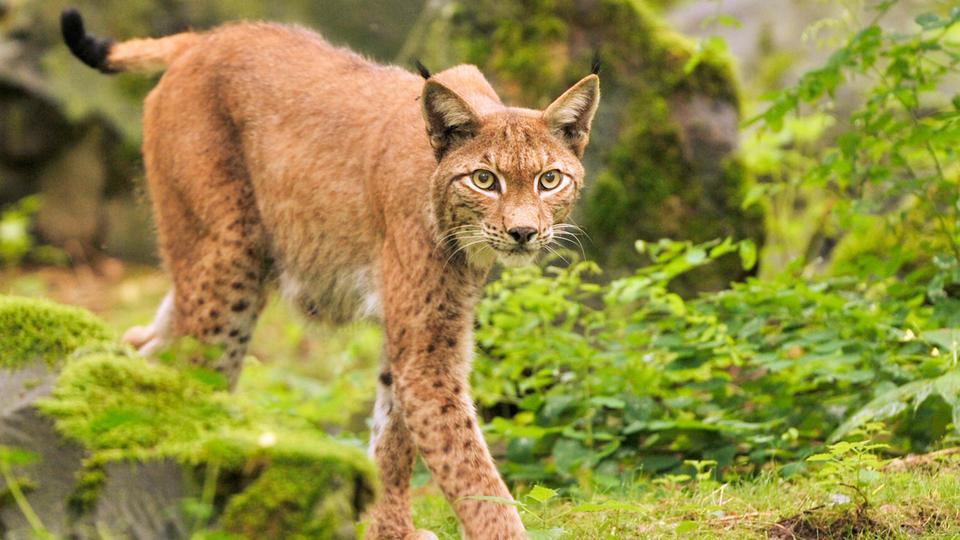 Luchs Luchse Tierpark Hanau Alte Fasanerie Wildpark