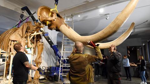 Das Mastodon-Skelett wird für die lange Reise fertig gemacht.