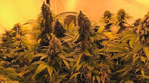 Sichergestellte Marihuanapflanzen Darmstadt