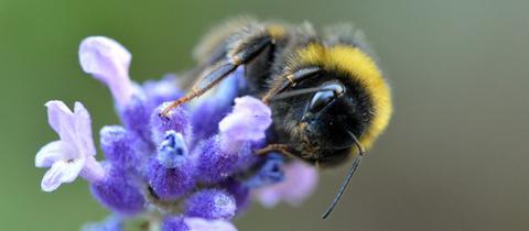 Das fleißige Bienchen hat hessenschau.de-Nutzerin Maeve Asple Frerichs aus Wiesbaden fotografiert.