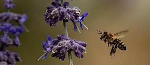 Die Biene im Anflug hat uns hessenschau.de-Nutzer Christoph Molderings geschickt.