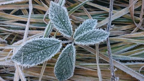 Frostige Schönheit, ein Brombeerblatt, fotografiert beim Spaziergang im Schützenwald bei Niedergrenzebach.