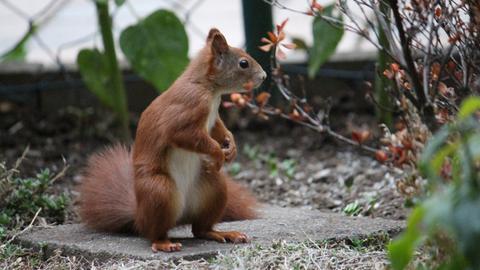 Eichhörnchen aufrecht sitzend