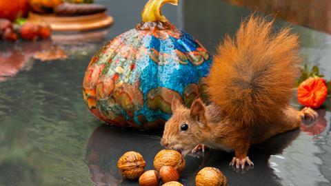 Eichhörnchen streckt sich nach Nüssen