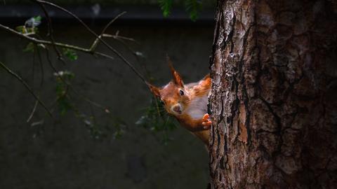 Ganz vorsichtig lugt das Eichhörnchen hinter dem Baumstamm hervor. Abgelichtet hat diesen Moment hessenschau.de-Nutzerin Brigitte Kosch.