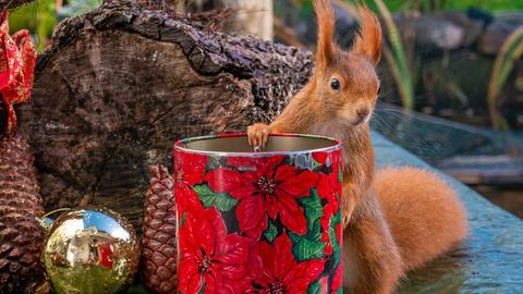 Eichhörnchen sitzt in der Weihnachtsdeko und wartet auf Nüsse
