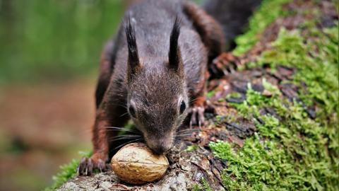 Eichhörnchen im Wald mit einer Walnuss
