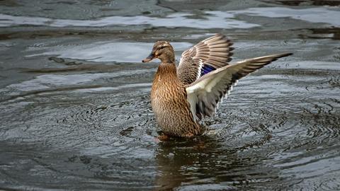 Flatternde Ente