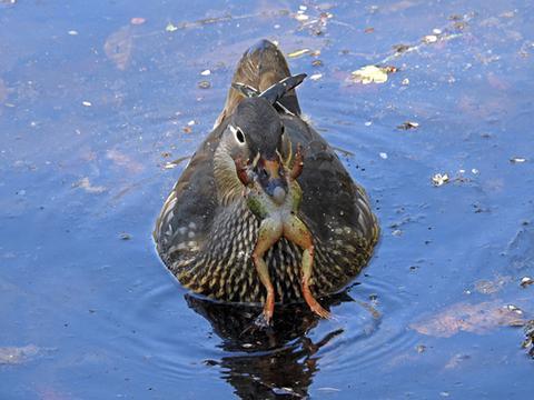 Ente versucht, einen Frosch zu verschlucken