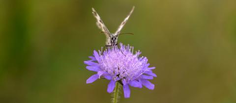 """Auf einem Abendspaziergang begegnete hessenschau.de-Nutzerin Marion Wöll dieses """"kleine, fleißige Insekt"""" auf einer Blüte - und sie hielt es mit ihrer Kamera fest."""