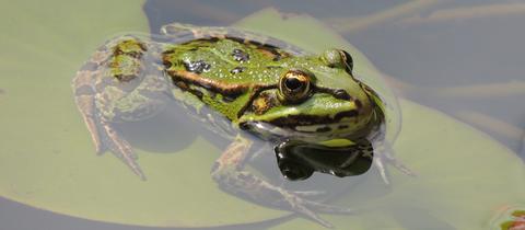 momentaufnahme-frosch